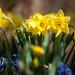 daffodil duo by raspberrytart