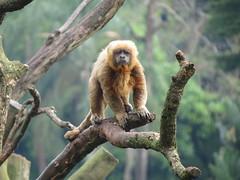 gibbon, animal, branch, monkey, mammal, fauna, old world monkey, new world monkey, wildlife,