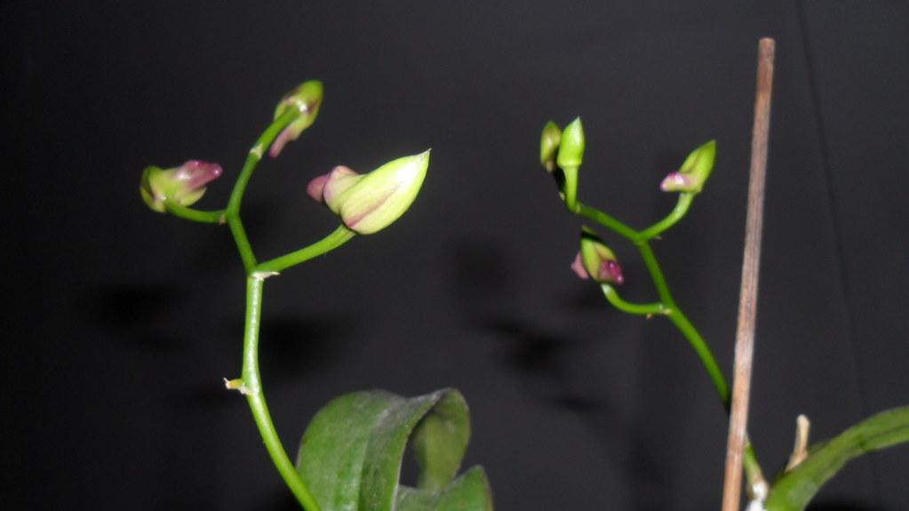 Dendro - phale forumul-florilor - Pagina 5 8634216962_b4c54a02ab_b