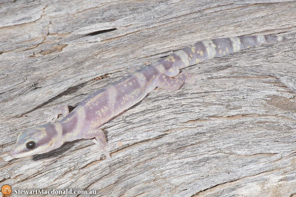 Marbled velvet gecko (Oedura marmorata)