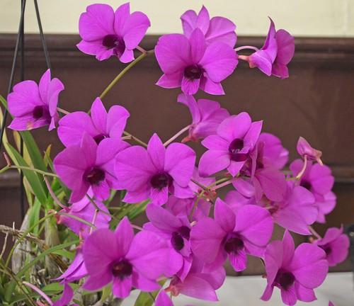 Dendrobium lithocola