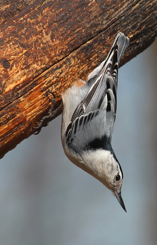 White-breasted nuthatch by ricmcarthur