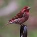 Purple Finch by AllHarts