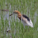 Javan Pond Heron - Photo (c) Jerry Oldenettel, some rights reserved (CC BY-NC-SA)