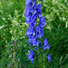Monkshood (Aconitum napellus)