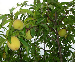 Green peaches in Georgia