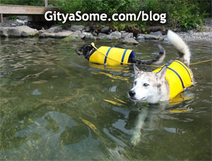Dogs swimming in the lake wearing bright yellow life vests