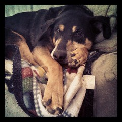 Lazy day aground the house = happy Tut #dogstagram #coonhoundmix #adoptdontshop #rescue #lazy #paw