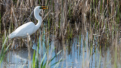 Great Egret w Fish (1 of 1)