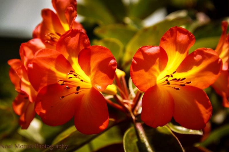 Tropical rhododendron or vireya,Trommer Lilly Farm, Big Island