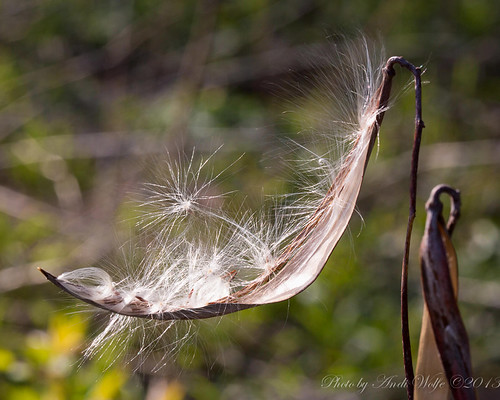 Milkweed seed awaiting flight by andiwolfe
