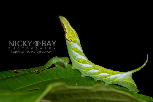 Hawk Moth Caterpillar - DSC_0671