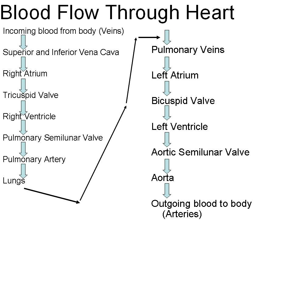 {Unit 7 Blood Flow Through Heart – Blood Flow Through the Heart Worksheet