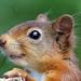 0K4A4742_2 Crop  Red Squirrel