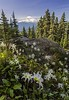 Mount Rainier and Lilies