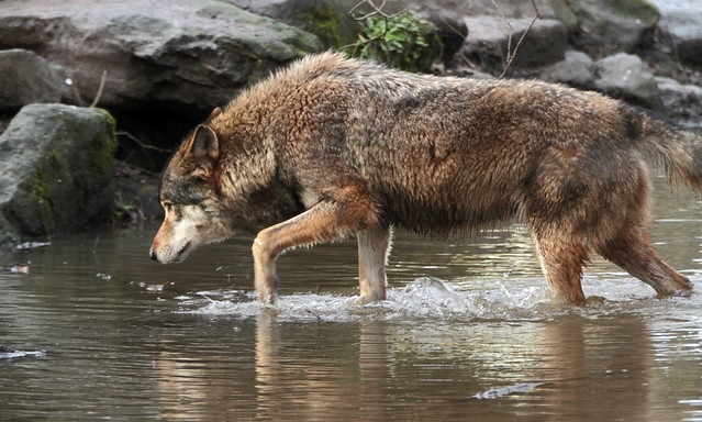 europese wolf Blijdorp IMG_0047