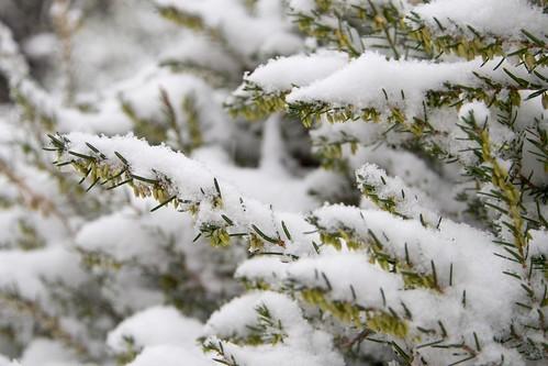 雪をかぶったヒース