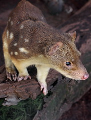 wallaby(0.0), virginia opossum(0.0), possum(0.0), rat(0.0), mouse(0.0), dormouse(0.0), animal(1.0), common opossum(1.0), mammal(1.0), fauna(1.0), close-up(1.0), whiskers(1.0), viverridae(1.0), wildlife(1.0),