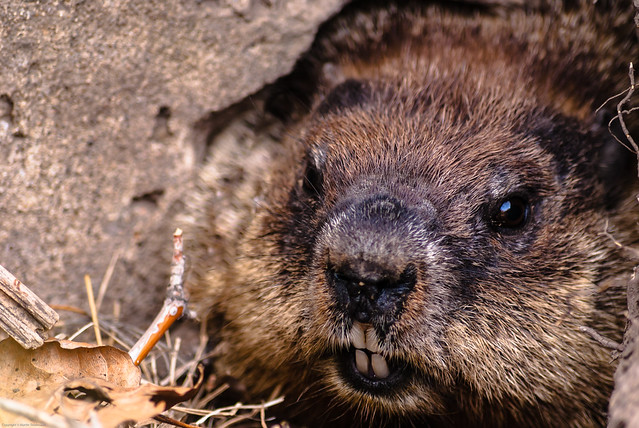 Groundhog baring sharp teeth | Flickr - Photo Sharing!  Groundhog barin...