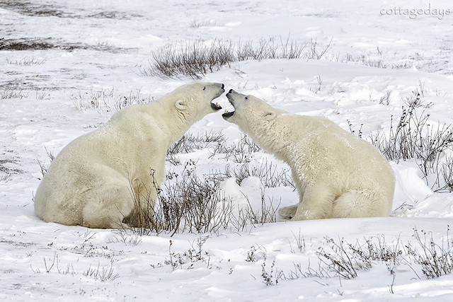 polar bear greeting