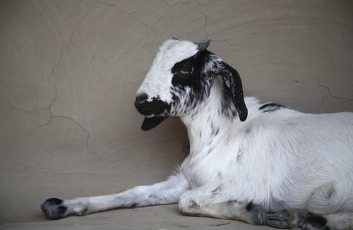 Goat on verandah in Berhampur, India