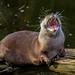 Otter yawning, London Zoo
