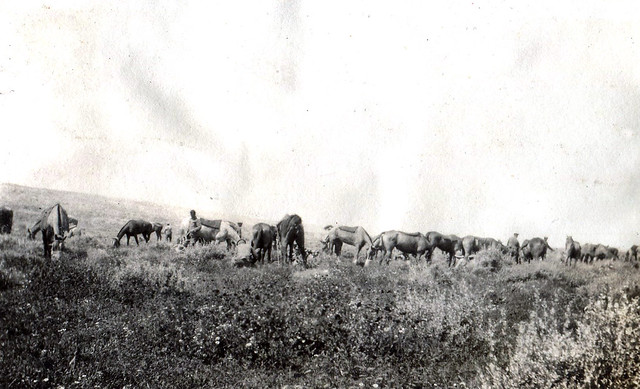 11. QODY Horses relax for a while after the battle