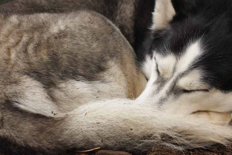 How can we thank and give back to the Chukchi People for giving us our beloved Siberian Husky breed? 8506333760_4d0e4e8857_c