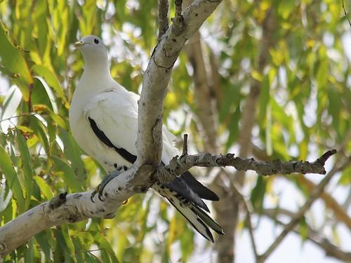 Torresian Imperial-pigeon 7676