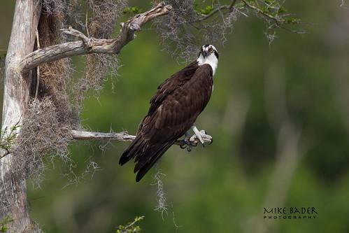 raptors osprey avian birdsofprey floridawildlife floridabirds bluecypresslake