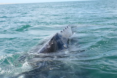 animal, marine mammal, sea, ocean, marine biology, wind wave, whales, dolphins, and porpoises, humpback whale,