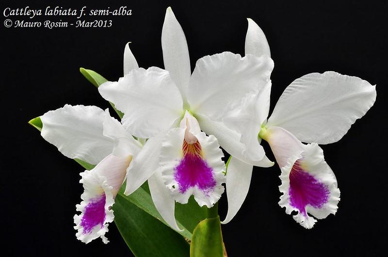 Cattleya labiata f. semi-alba 8520352985_7051d5b131_c