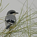 Southern Grey Shrike (David Morris)