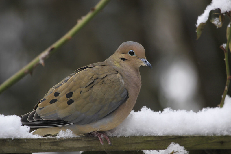 mourning dove snow