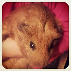 animal, guinea pig, rodent, pet, mouse, hamster, whiskers,