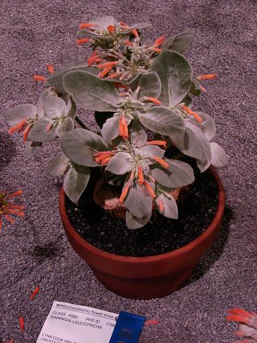 Sinningia leucotricha