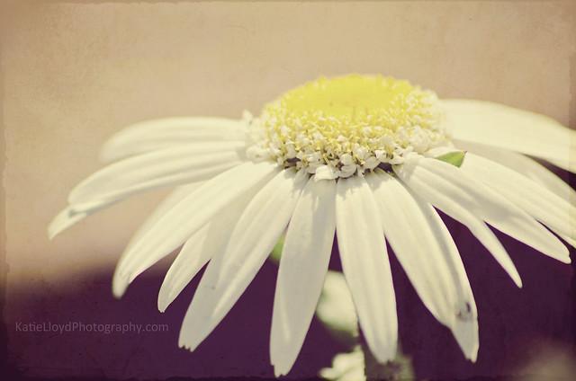 Daisy---Rustic