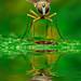 Mosquito reflex-Diptero by Ferdinandos