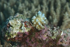 """New corals settling onto the reef surface help reefs recover from disturbance. (c) Keith Ellenbogen"""