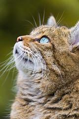 Wild cat looking upwards