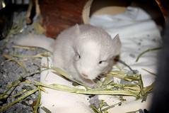 animal, rat, rodent, pet, mouse, fauna, muroidea, dormouse, whiskers, pest, gerbil,