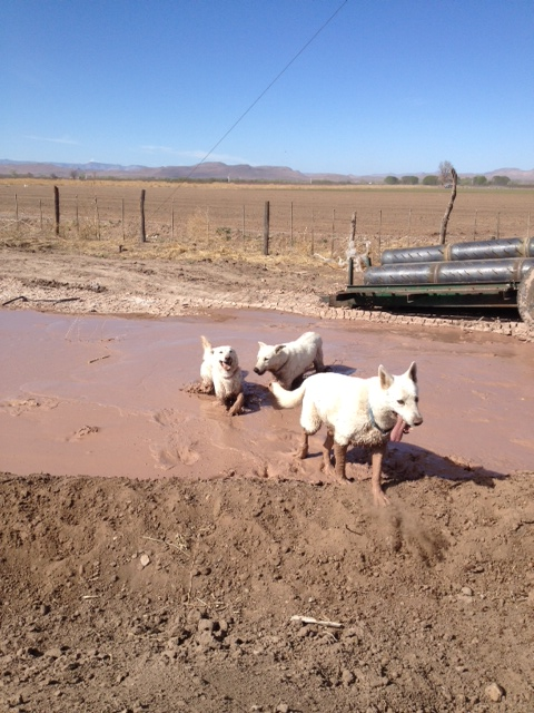 Mud dogs 1