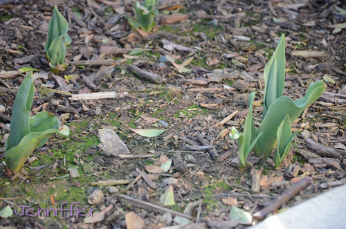 tulips just coming up