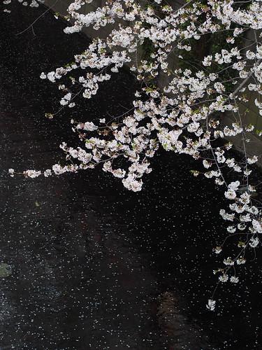 桜 2013 目黒川