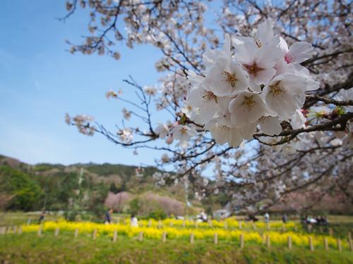 Sakura in Asuka