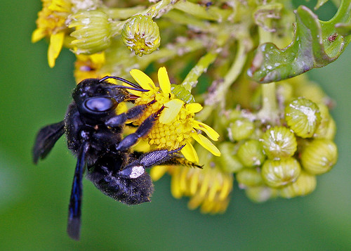 centralflorida orlandowetlandspark floridanativewildflowers taxonomy:binomial=packeraglabella marykeim taxonomy:binomial=megachilexylocopoides