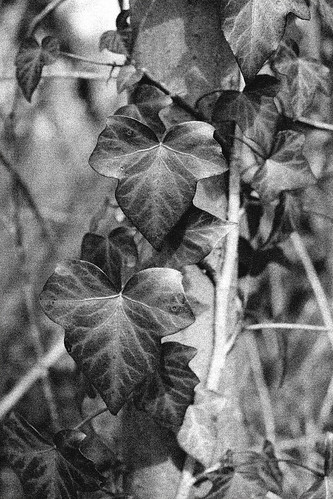 Variegated ivy B&W by Helen in Wales
