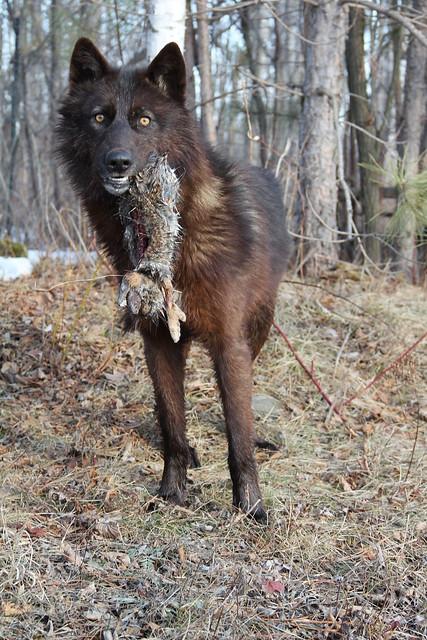 Black Wolf w/ scavenged rabbit