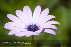2013 Violet Daisy, Gage Park - Topeka, KS