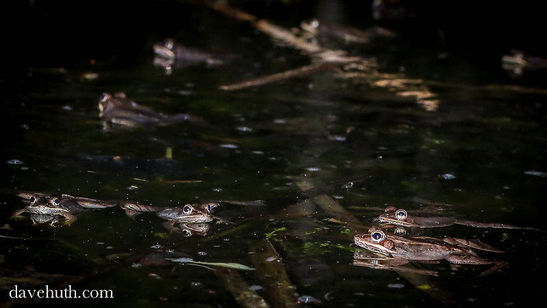 Wood Frogs (Rana sylvatica) gather in a vernal pool